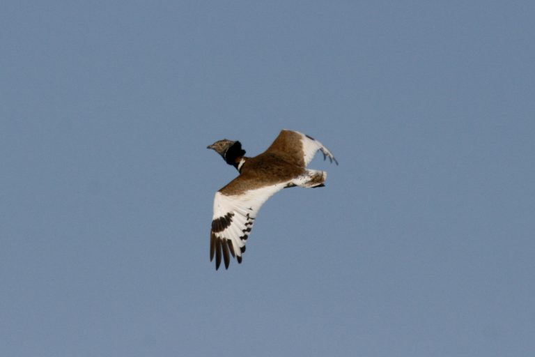 Outarde mâle en vol