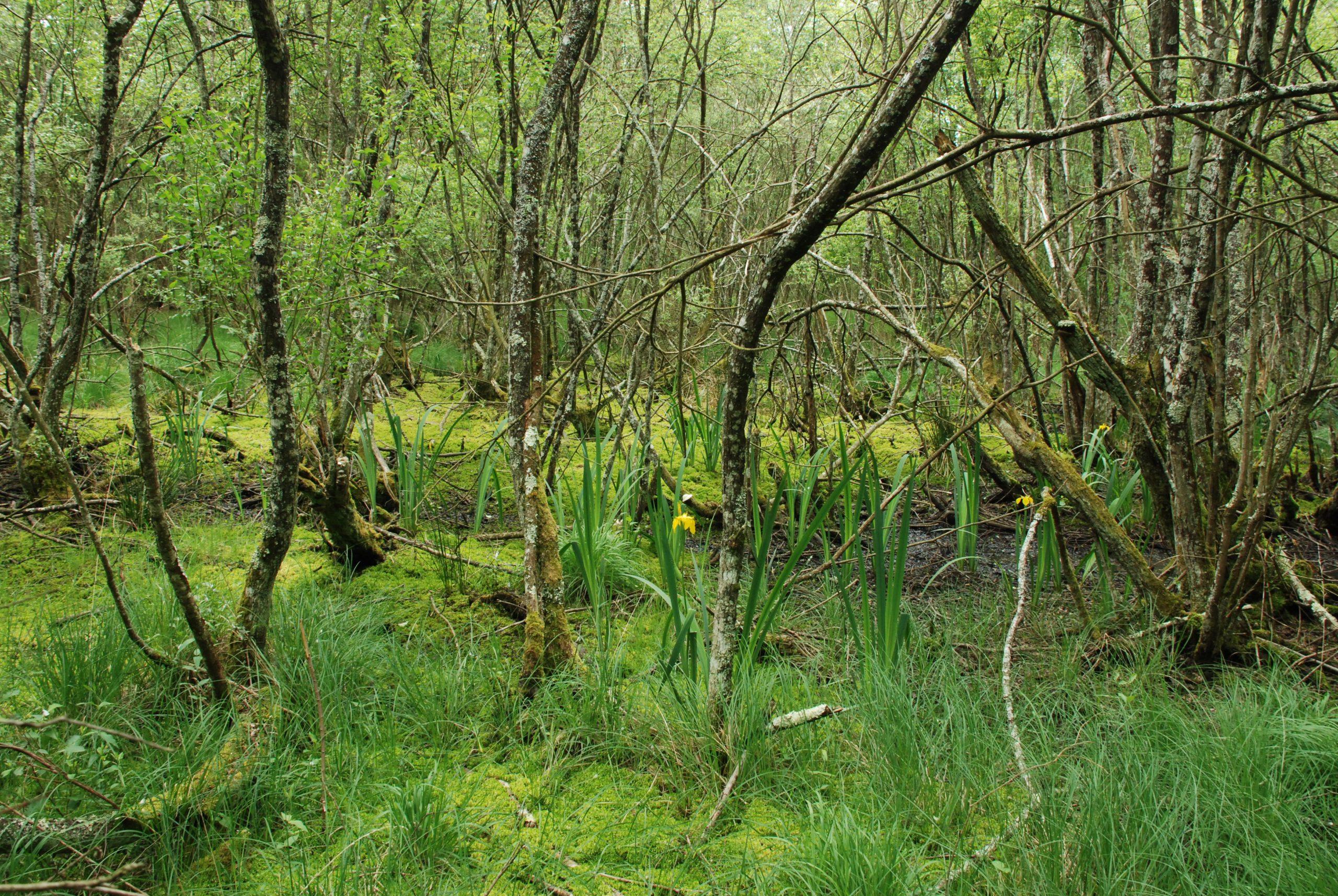 Boisements humides du Camp d'Auvours